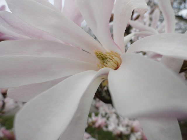 Did I mention magnolias are awesome in blossom?